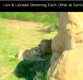 Lion & Lioness Grooming and Bonding